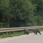Medvjedi u Ljubogošti (VIDEO)